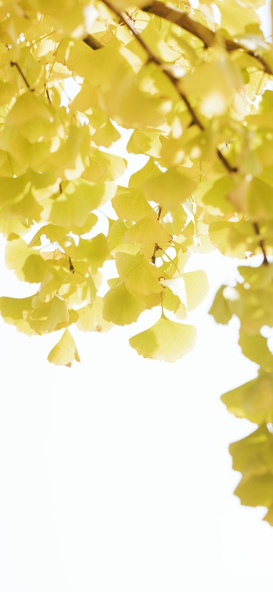 银杏 树木 树叶 秋季