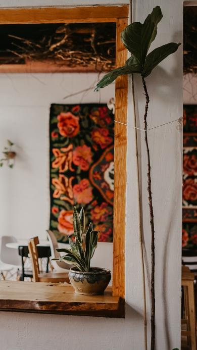 家居 盆栽 观赏 龙舌兰
