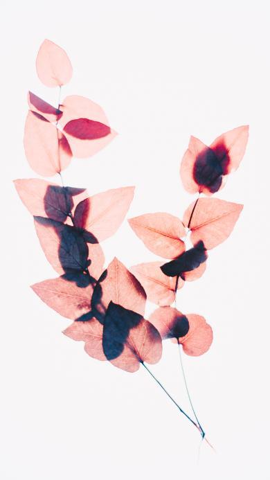 树叶 枝叶 标本 透视