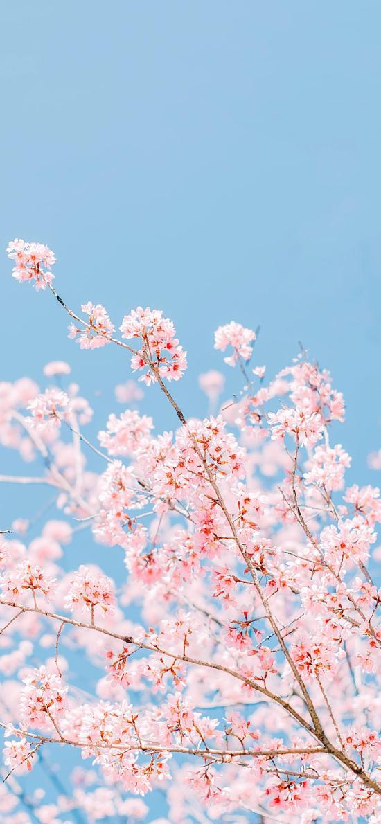 ?;?鲜花 粉色 浪漫 枝头