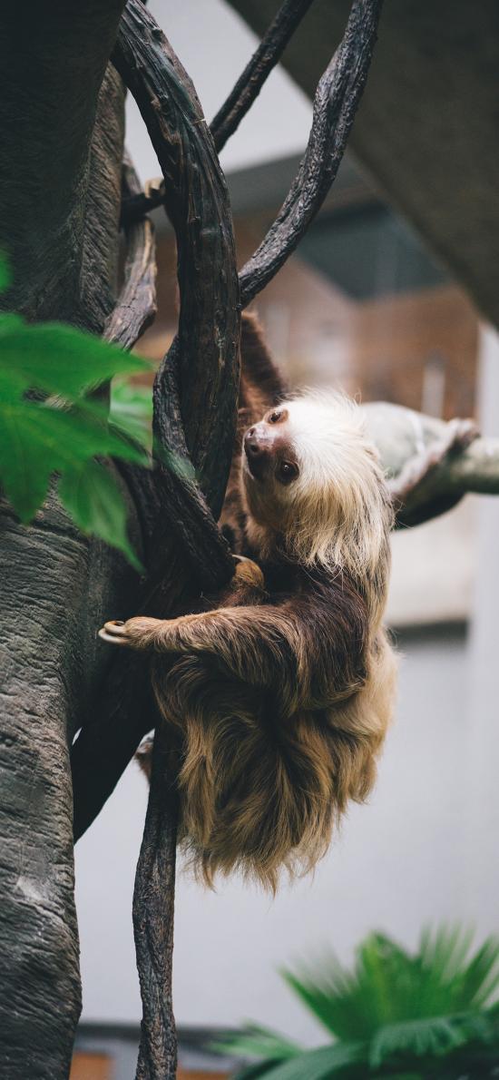 樹懶 樹木 爬行 緩慢 皮毛