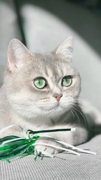 猫咪 碧眼 灰白 宠物