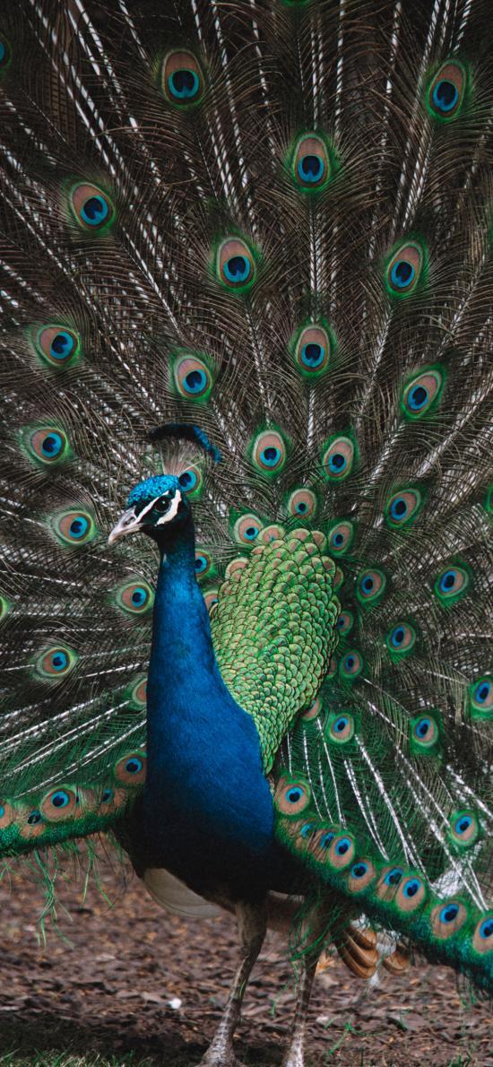 孔雀 開屏 求偶 羽冠