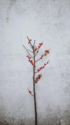 小野果 小红果 枝干 树枝