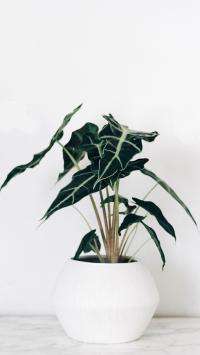 绿植 观音莲 绿植 花盆