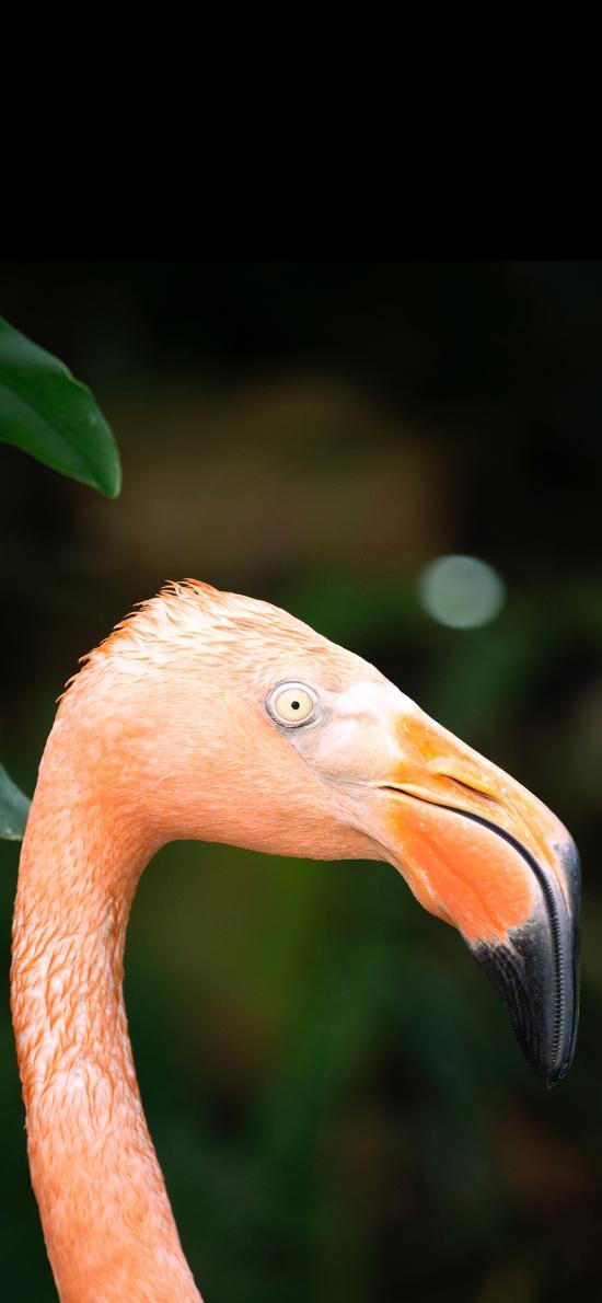 火烈鸟 头部 鸟喙