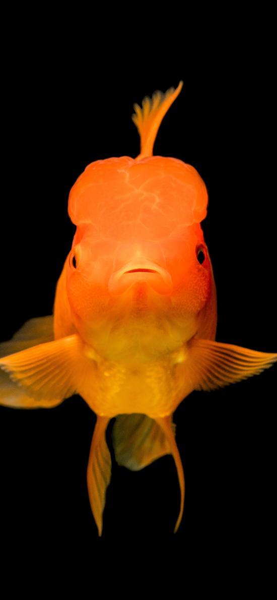 金鱼 观赏鱼 鱼类