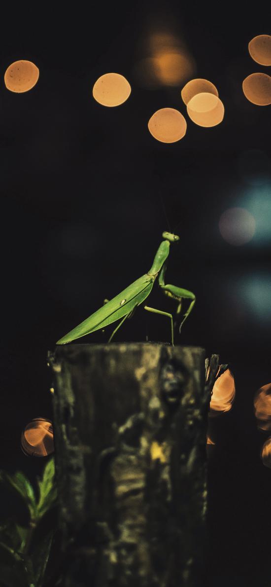 螳螂 昆虫 害虫 碧绿