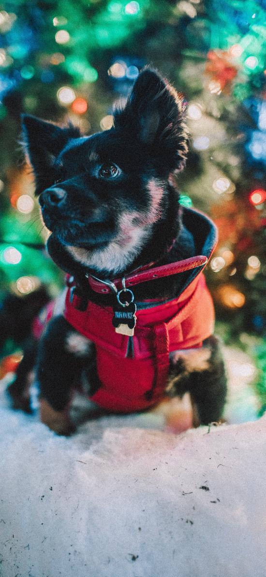 小狗 宠物 雪地 项圈