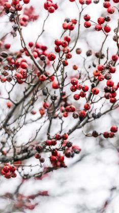 树木 果实 小浆果 红色
