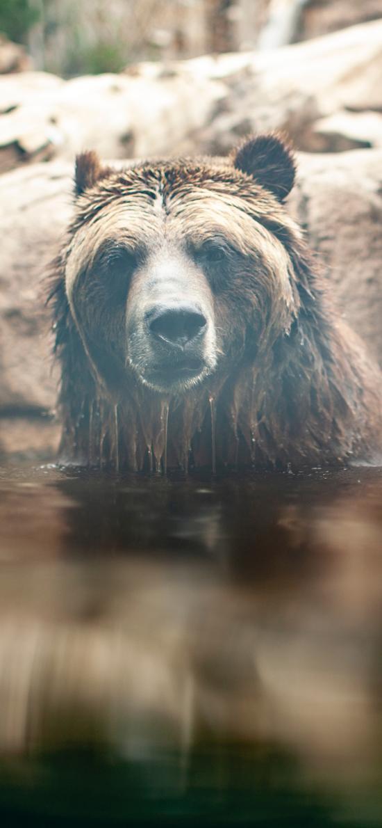 动物园 池塘 棕熊 泡澡