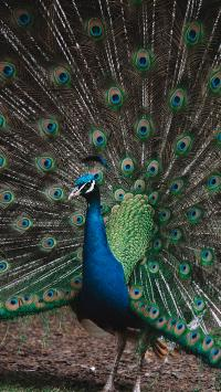 孔雀 开屏 求偶 羽冠
