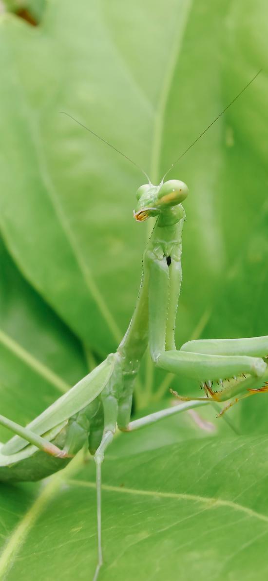 昆虫 害虫 螳螂 绿叶