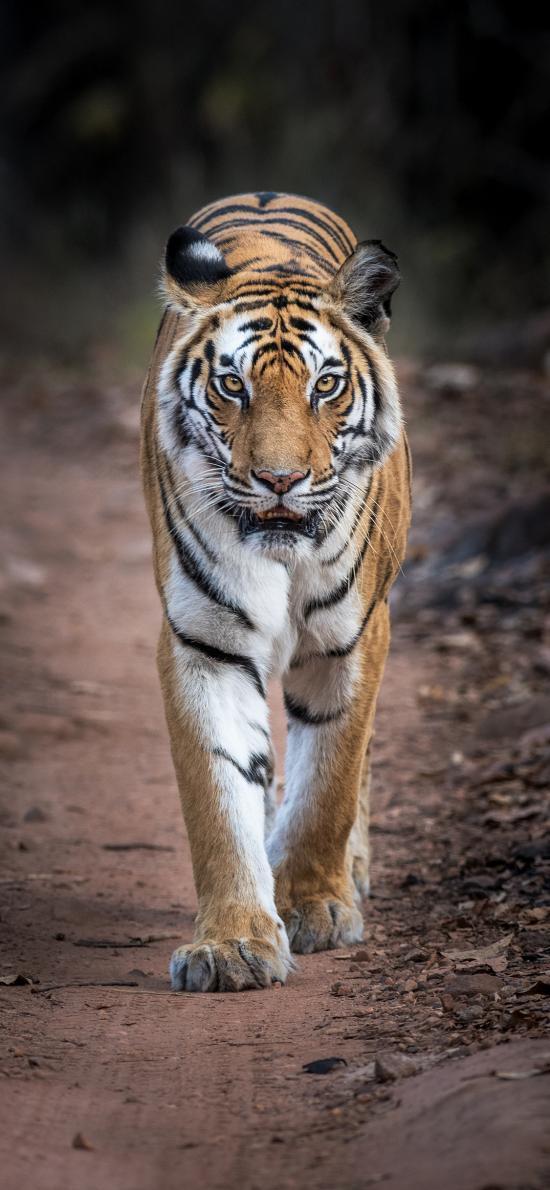 老虎 凶猛 猛兽 山林之王