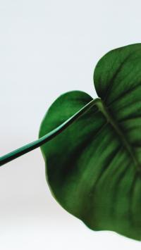 绿叶 龟背竹 观赏 绿化