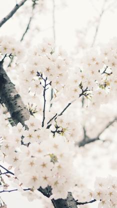 树木 鲜花 梨花 白色