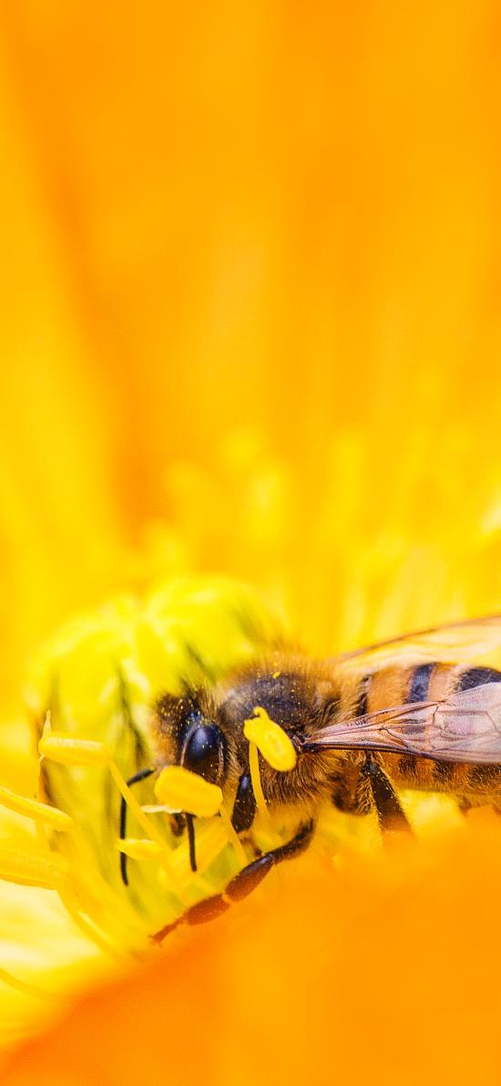 蜜蜂 采蜜 花蕊 黄色