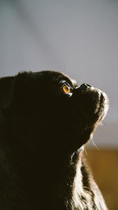 巴哥 宠物 黑狗 光影