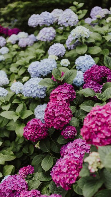 花簇 鲜花 盛开 枝叶 绣球花