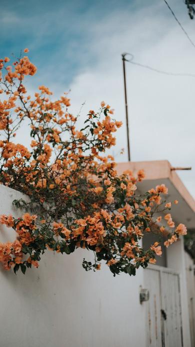 种植 勒杜鹃 墙院 鲜花