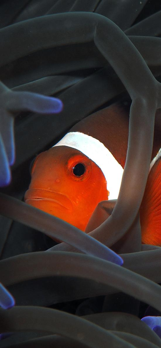 海洋生物 小丑鱼 观赏鱼 珊瑚丛
