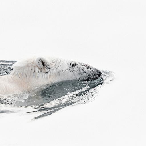 北极熊 白色 游泳 觅食