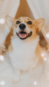 柯基 宠物狗 可爱 犬类