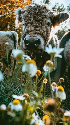 牛 野花 花草 牛羔