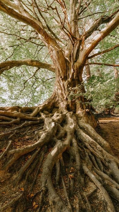 大树 盘根错节 根茎 树干