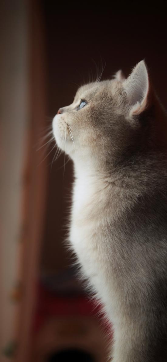 猫咪 侧身 灰猫 皮毛 蓬松 宠物