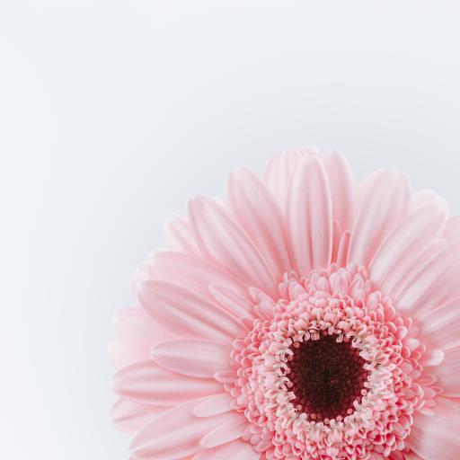 菊花 花瓣 花盘 盛开