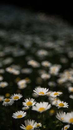 菊花 鲜花 花丛 盛开