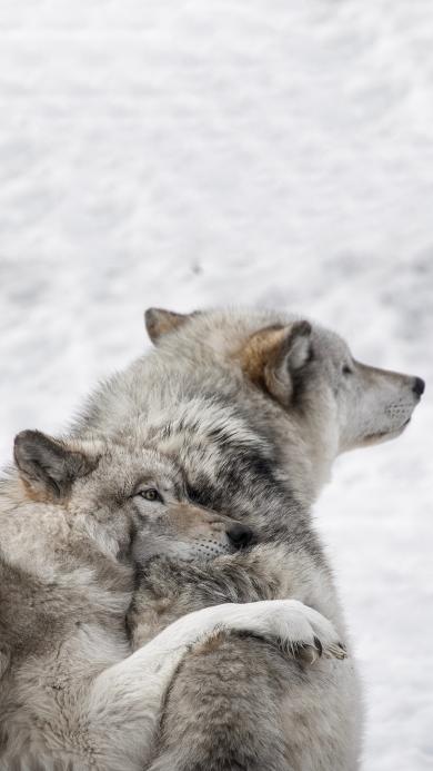 郊外 狼 群居 肉食动物
