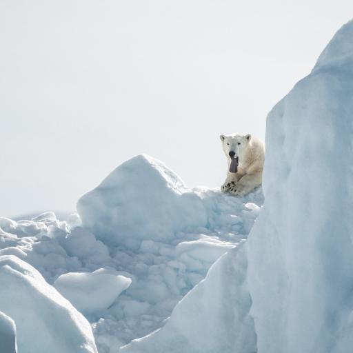 雪山 北极熊 舌头 寒冷
