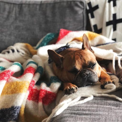 宠物狗 英国 斗牛犬 睡觉
