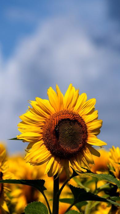 向日葵 鲜花 盛开 花田