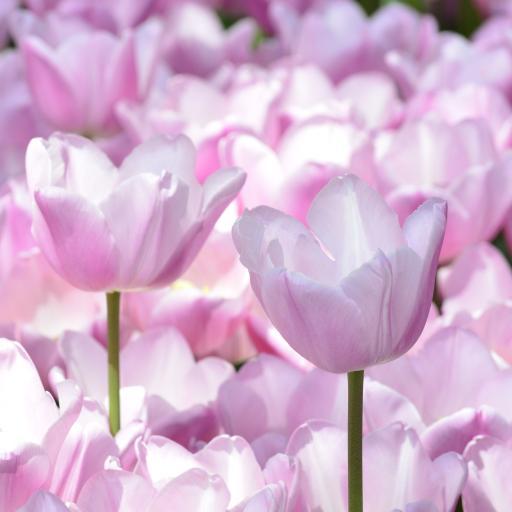 郁金香 鲜花 粉色 盛开 花海
