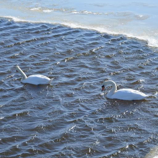 天鹅 湖水 翅膀 羽毛