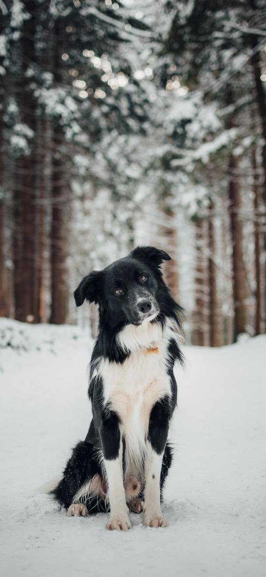 牧羊犬 宠物 雪地 野外 树林