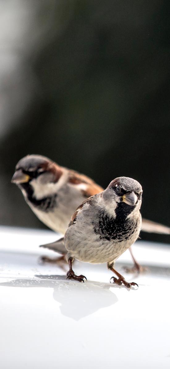 飞禽 小鸟 麻雀 鸟类