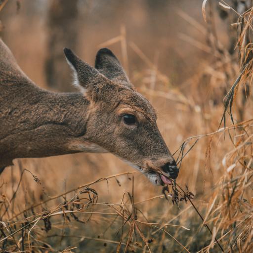 鹿 觅食 野外 枯黄 野草