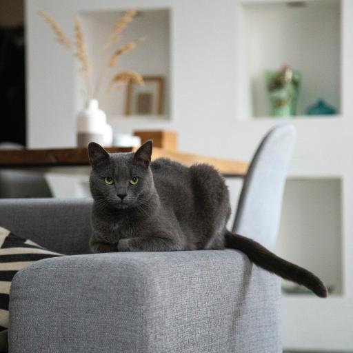 猫咪 宠物 沙发 灰猫
