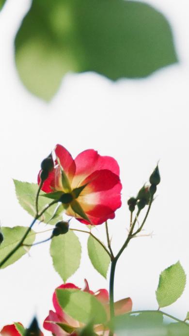 玫瑰 枝叶 鲜花 花苞