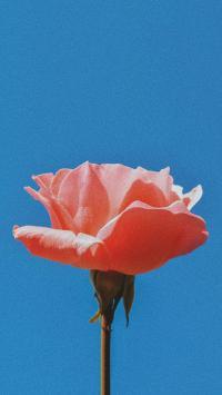 鲜花 粉色玫瑰 绽放 鲜艳