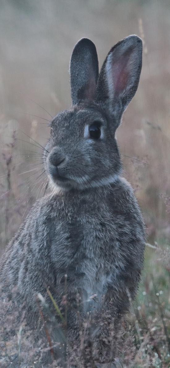 郊外 草地 兔子 野兔 灰色