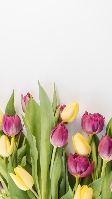 郁金香 鲜花 枝叶