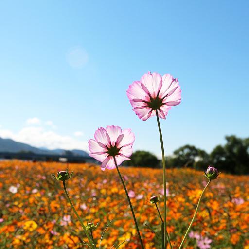 鲜花 盛开 花朵 花海 郊外