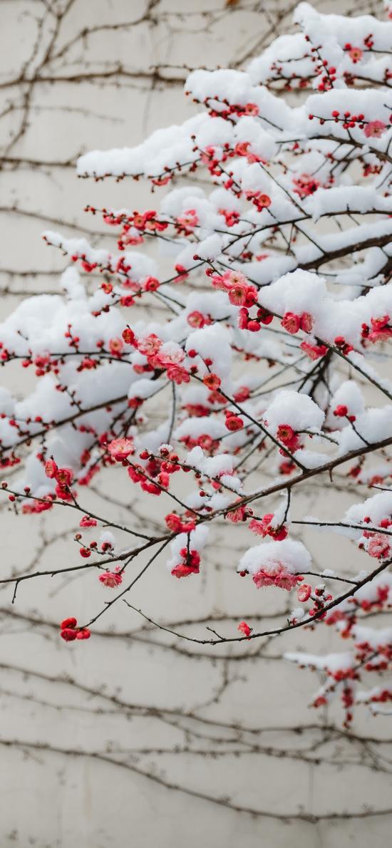 雪季 梅花 枝头 红梅