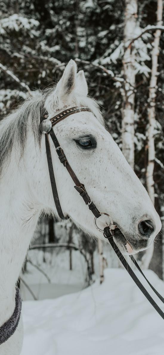 郊外 雪地 白馬 奔跑