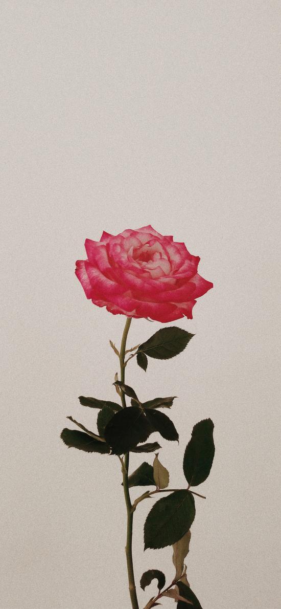 鲜花 盛开 玫瑰 枝叶